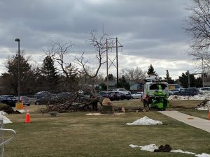 Construction crews cut down and mulch one of the trees on Greeley West's campus last week.  The trees are being leveled for a future parking lot.