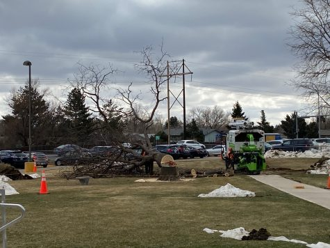 Construction crews cut down and mulch one of the trees on Greeley West